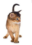 Cute somali kitten. Isolated on white background Stock Image