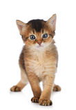 Cute somali kitten. Isolated on white background Royalty Free Stock Photo