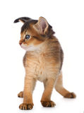 Cute somali kitten. Isolated on white background Stock Photos