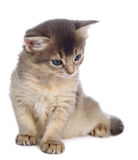 Cute somali kitten. Isolated on white background Stock Images