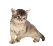 Cute somali kitten. Isolated on white background Stock Photography