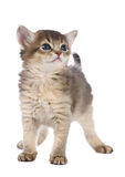 Cute somali kitten. Isolated on white background Royalty Free Stock Photos