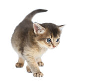 Cute somali kitten. Isolated on white background Royalty Free Stock Images
