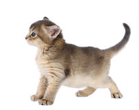 Cute somali kitten. Isolated on white background Royalty Free Stock Photography