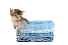 Cute somali kitten isolated on white background. Cute somali kitten in blue basket isolated on white background Royalty Free Stock Photos