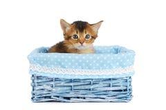 Cute somali kitten isolated on white background. Cute somali kitten in blue basket isolated on white background Stock Images