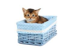 Cute somali kitten isolated on white background. Cute somali kitten in blue basket isolated on white background Stock Image