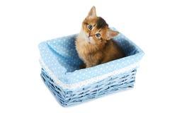 Cute somali kitten isolated on white background. Cute somali kitten in blue basket isolated on white background Stock Photos