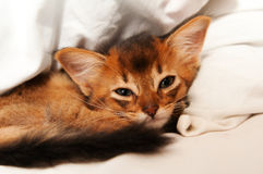 Cute somali kitten. Lying on white bed and looking at camera Stock Photo