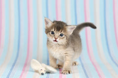 Cute somali kitten with mouse. Cute somali kitten on blue striped background Royalty Free Stock Image