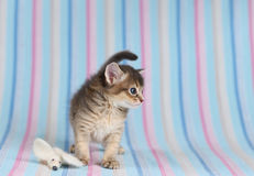 Cute somali kitten with mouse. Cute somali kitten on blue striped background Stock Image
