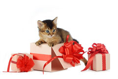 Cute somali kitten on a present box. Isolated on white background Royalty Free Stock Photography