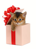 Cute somali kitten in a present box. Isolated on white background Royalty Free Stock Photos
