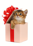 Cute somali kitten in a present box Royalty Free Stock Photos