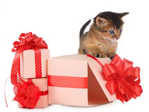 Cute somali kitten in a present box. Isolated on white background Royalty Free Stock Photo