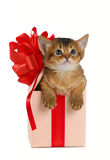 Cute somali kitten in a present box. Isolated on white background Stock Image