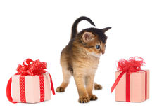 Cute somali kitten in a present box. Isolated on white background Royalty Free Stock Images