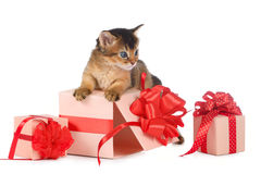 Cute somali kitten in a present box. Isolated on white background Royalty Free Stock Image