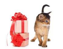 Cute somali kitten in a present box. Isolated on white background Stock Images