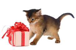 Cute somali kitten in a present box. Isolated on white background Stock Photos