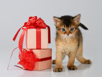 Cute somali kitten in a present box. On white background Stock Photos