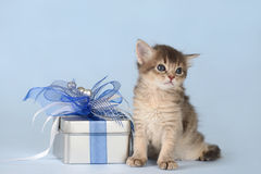 Cute somali kitten sitting near a present box Royalty Free Stock Photography