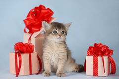 Cute somali kitten sitting near a present box. On blue background Stock Photography