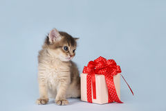Cute somali kitten sitting near a present box Royalty Free Stock Images
