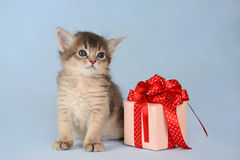 Cute somali kitten sitting near a present box. On blue background Royalty Free Stock Image