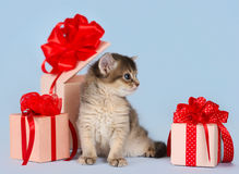Cute somali kitten sitting near a present box Stock Image