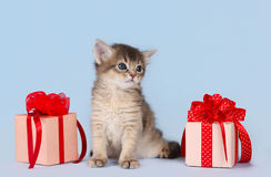 Cute somali kitten sitting near a present box. On blue background royalty free stock photo