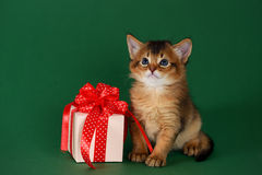 Cute somali kitten sitting near a present box. On green background Stock Photography
