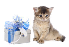 Cute somali kitten sitting near a present box. On white background Stock Image