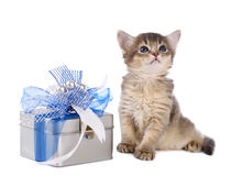 Cute somali kitten sitting near a present box. On white background Stock Images