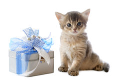 Cute somali kitten sitting near a present box. On white background Stock Photography