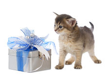Cute somali kitten sitting near a present box. On white background Stock Image