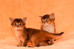 Cute somali kittens. With funny look of one to other Royalty Free Stock Image