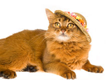 Cute Somali wearing floral straw hat. Somali cat with straw hat with flowers, on white background royalty free stock photo