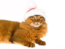 Cute Somali wearing santa cap on white bg. Somali cat with red and white santa cap, on white background Stock Photo
