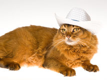 Cute Somali wearing white cowboy hat. Somali cat with white cowboy hat, on white background Stock Image
