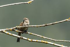 Cute song sparrow perched on branch. Small song sparrow is perched on a branch near Harrison, Idaho royalty free stock image