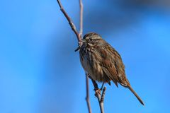 Cute song sparrow in tree. A cute little song sparrow is perched in a tree in north Idaho Royalty Free Stock Photo