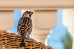 Cute Spanish Sparrow resting on a chair at an outdoor restaurant Stock Image
