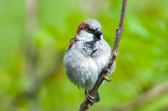 Cute sparrow Royalty Free Stock Photos