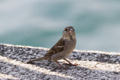 Cute sparrow on lake Stock Images