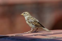 A Cute Sparrow royalty free stock photos