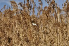Sparrow in on reeds. Cute sparrow in on reeds Royalty Free Stock Images