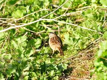 A Sparrow in the bush. A cute sparrow searching food in the bush Stock Photography