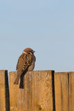 Cute sparrow on wooden fence Royalty Free Stock Images