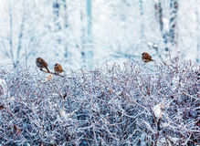 Cute Sparrows sitting Royalty Free Stock Images